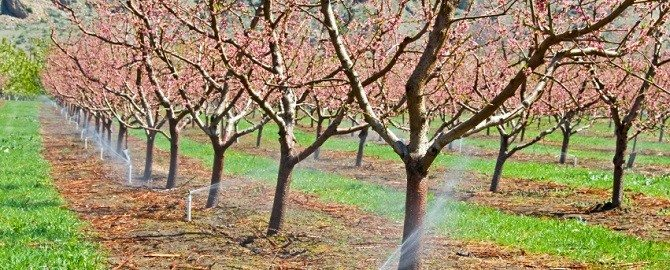Micro Ag Irrigation Systems Meet Orchard Watering Needs